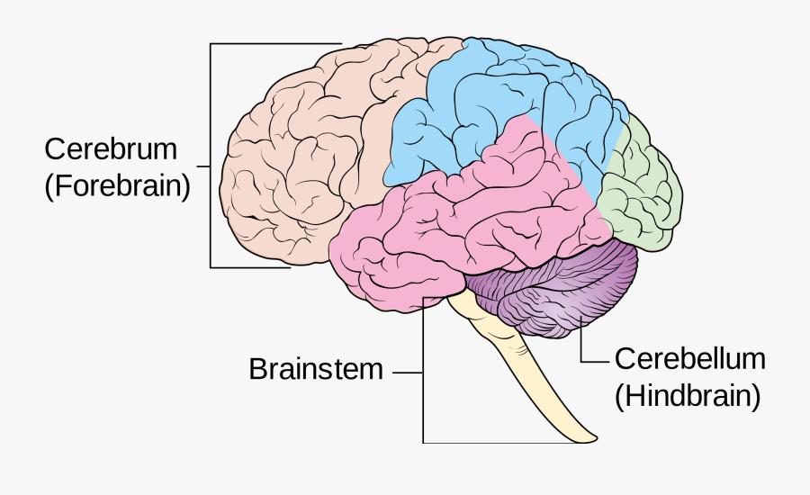 23-235865_hd-female-diagram-brain-brain-3-main-parts