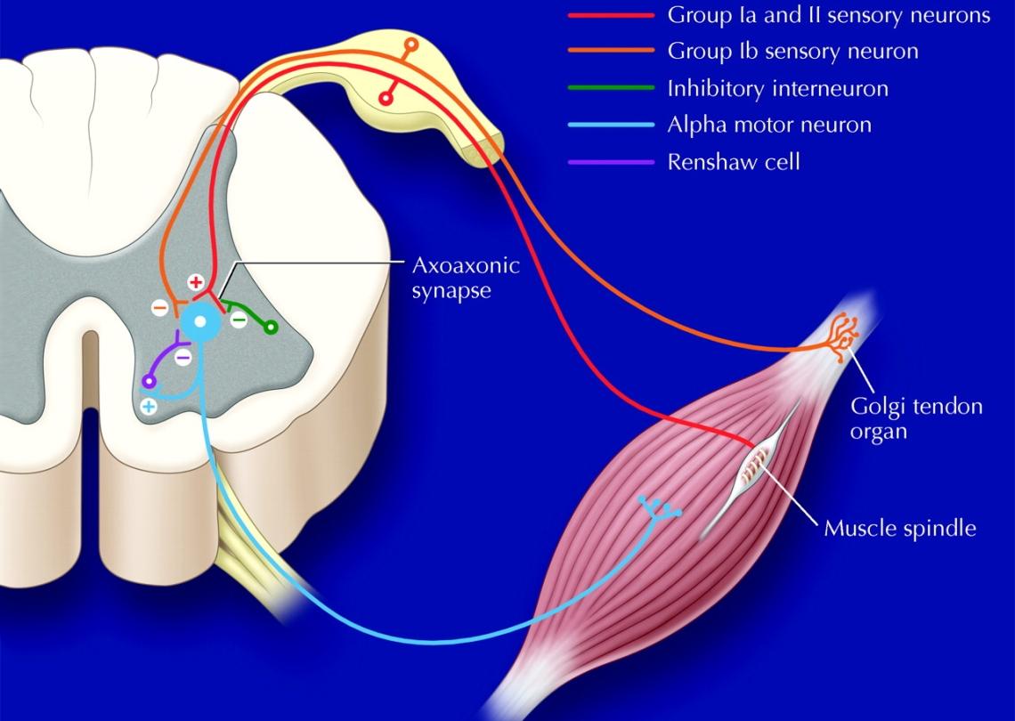 Alpha and afferent neurons