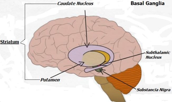 BasalGanglia2
