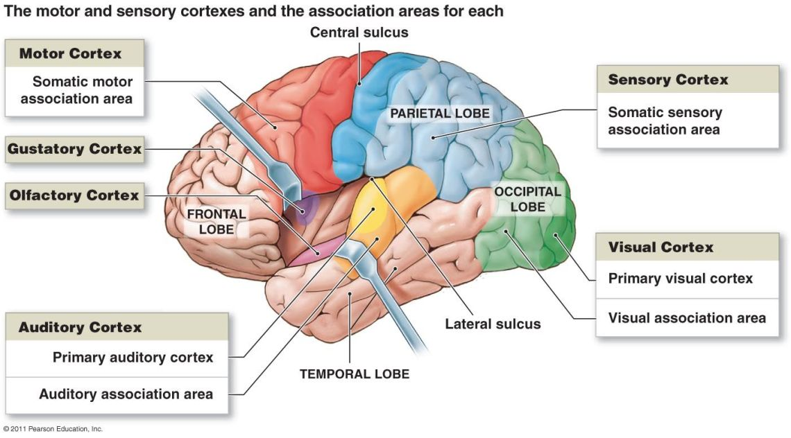 Brain cortices and lobes