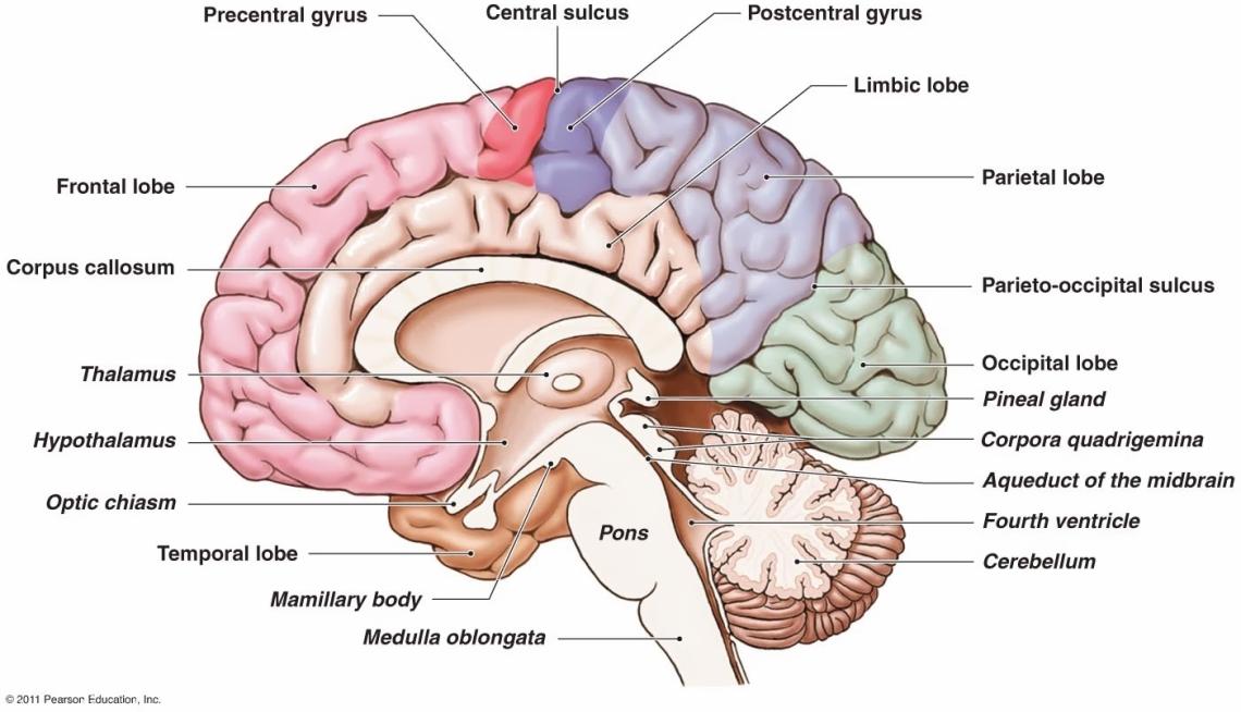 brainsag