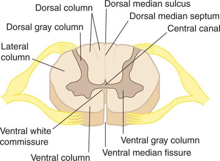 CS Spine Neuroanatomy