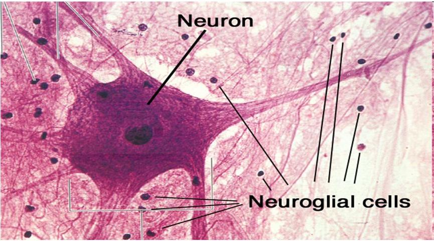 glial neurons
