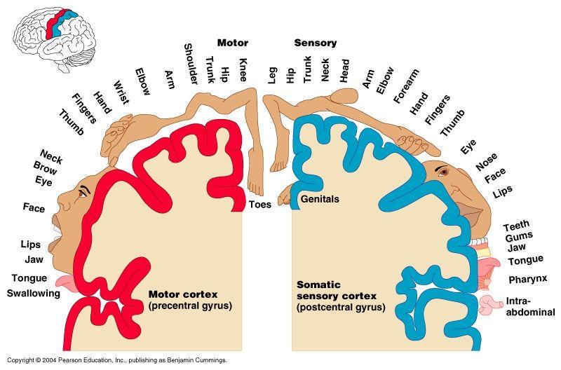 Motor sensory homonuculus