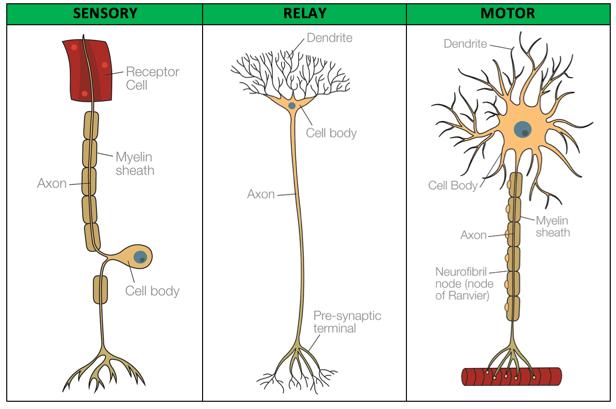 psych-biopsych-sensory-motor-relay-neurons
