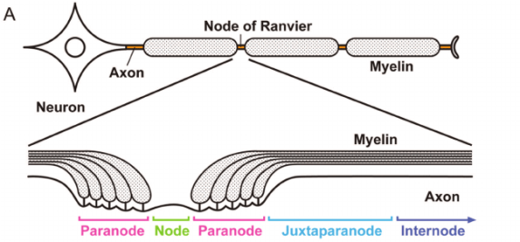 A-Anatomical-organisation-of-myelinated-nerve-fi-bre-and-its-subdomains-B-Schematic