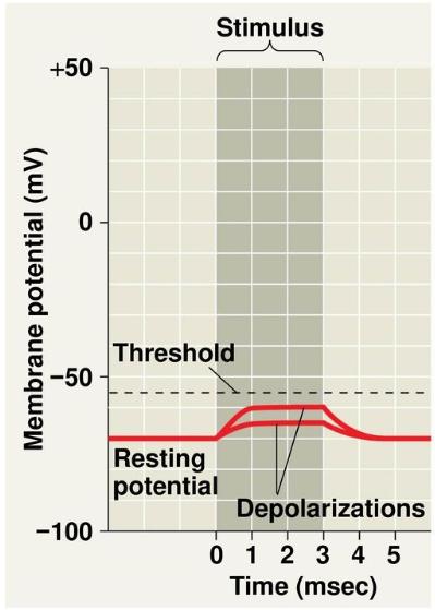 EPSP: Excitatory post synaptic potential