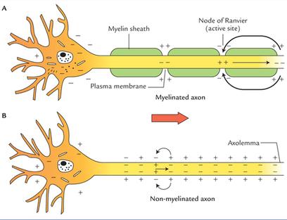 Myelinated v nonmyelinated