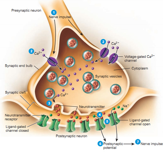Synapse (1)