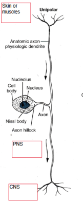 unipolar neuron